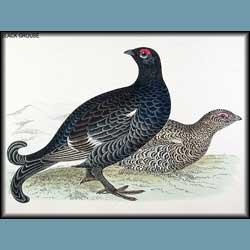 Morris British Birds Black Grouse
