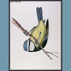Morris British Birds Blue Titmouse