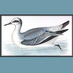 Morris British Birds Phalarope