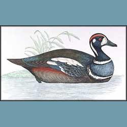 Morris British Birds Harlequin Duck