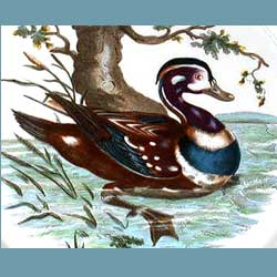 Portmeirion Birds Of Britain Harlequin Duck