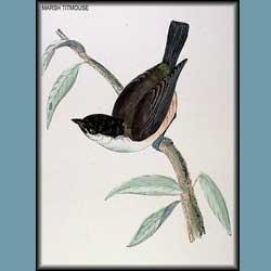 Morris British Birds Marsh Titmouse