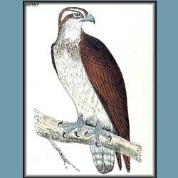 Morris British Birds Osprey