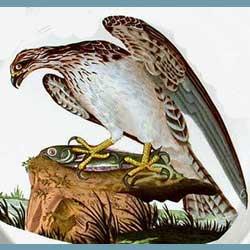 Portmeirion Birds Of Britain Osprey