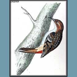 Morris British Birds Tree Creeper