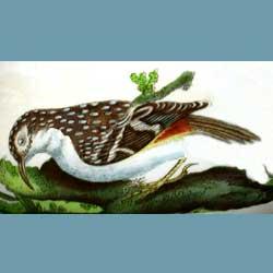 Portmeirion Birds Of Britain Tree Creeper