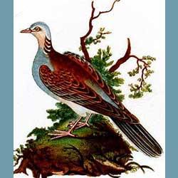 Portmeirion Birds Of Britain Turtle Dove