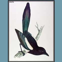 Morris British Birds Magpie