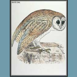 Morris British Birds Barn Owl