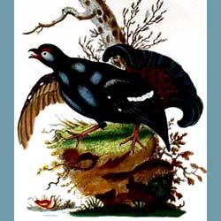 Portmeirion Birds Of Britain Black Grouse