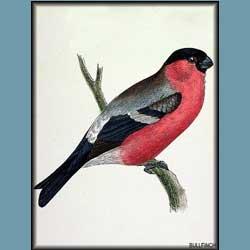 Morris British Birds Bullfinch