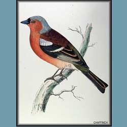 Morris British Birds Chaffinch