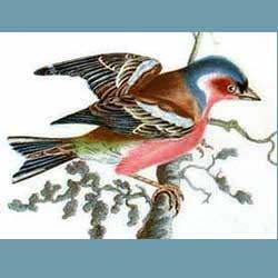 Portmeirion Birds Of Britain Chaffinch