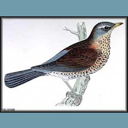 Morris British Birds Fieldfare