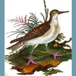 Portmeirion Birds Of Britain Phalarope