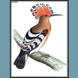 Morris British Birds Hoopoe