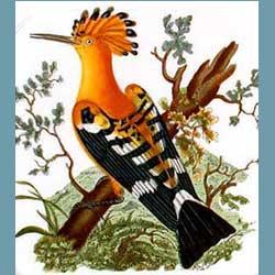 Portmeirion Birds Of Britain Hoopoe