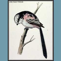 Morris British Birds Long Tailed Titmouse