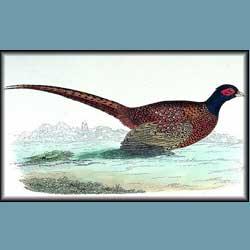 Morris British Birds Pheasant
