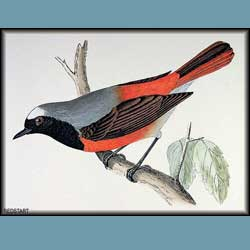 Morris British Birds Redstart