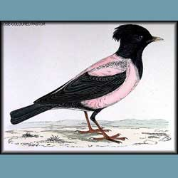 Morris British Birds Rose Colored Staring