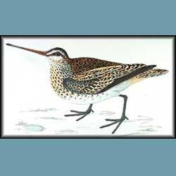 Morris British Birds Snipe