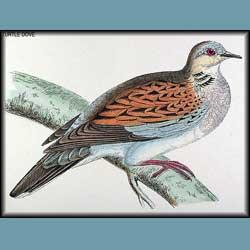 Morris British Birds Turtle Dove