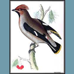 Morris British Birds Waxwing