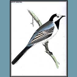 Morris British Birds White Wagtail