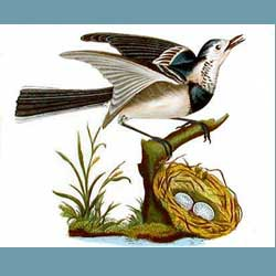 Portmeirion Birds Of Britain White Wagtail